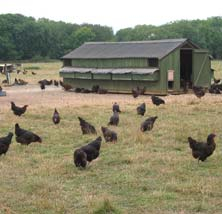 Laying hens ranging